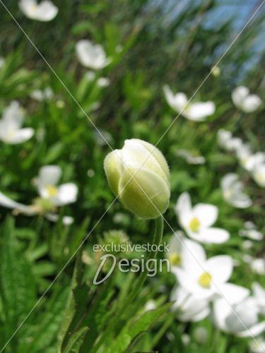 Bourgeon tapis fleurs blanches