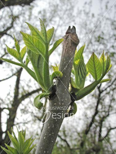 banque d 39 image bourgeons sur branche d 39 arbre vers le ciel exclusive stock design. Black Bedroom Furniture Sets. Home Design Ideas