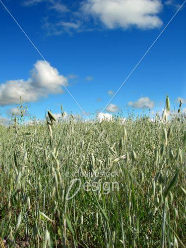 Champ hautes plantes ciel bleu