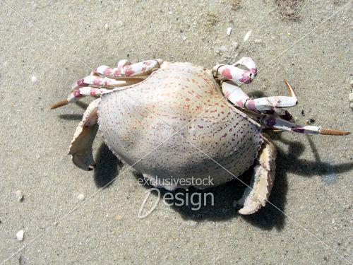 Crabe mort pâle pattes roses