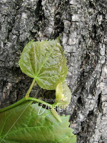 Feuille bourgeons tronc arbre