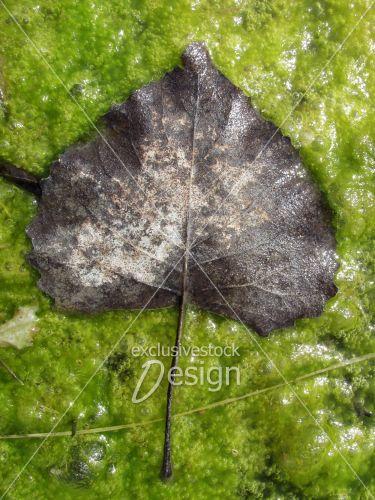 Feuille marrais mousse vaseuse verte