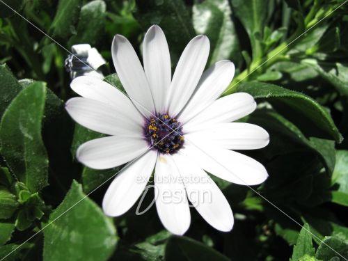Fleur blanche centre mauve jaune plan rapproché