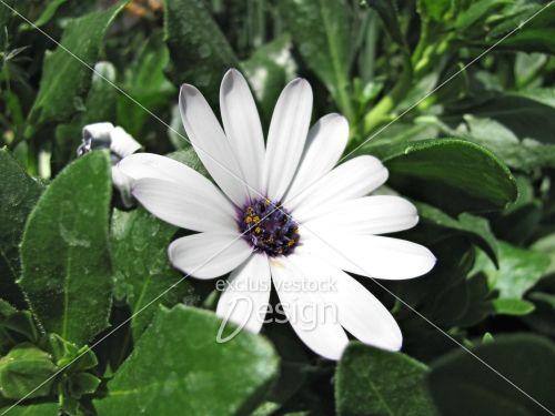 Fleur blanche centre mauve jaune