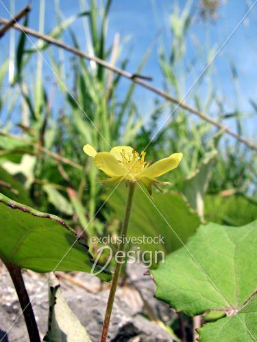 Fleur jaune poussant roche