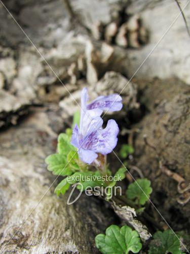 Banque d 39 image fleur mauve et bleu sur tronc d 39 arbre - Arbre fleur mauve printemps ...