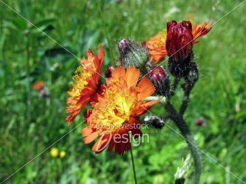 Fleur orange jaune expansion fond plantes vertes