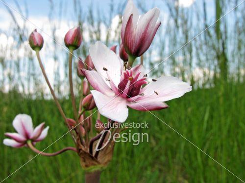 Fleur rose blanche champ herbe verte