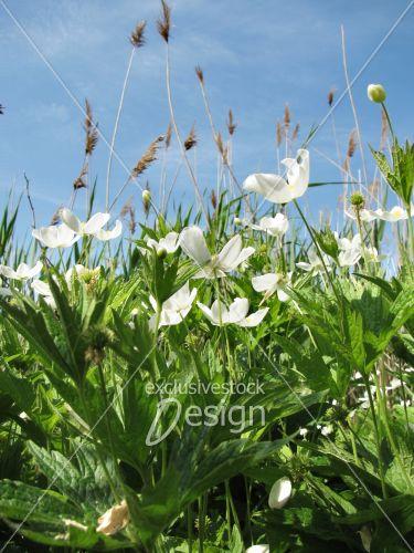 Fleurs blanches tige grandes feuilles
