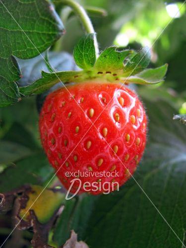 Fraise rouge feuille fraisier