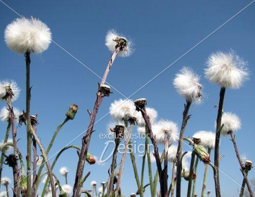 Groupe pissenlits ciel bleu