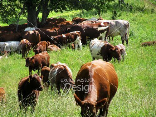 Troupeau vaches brunes blanches sous arbre