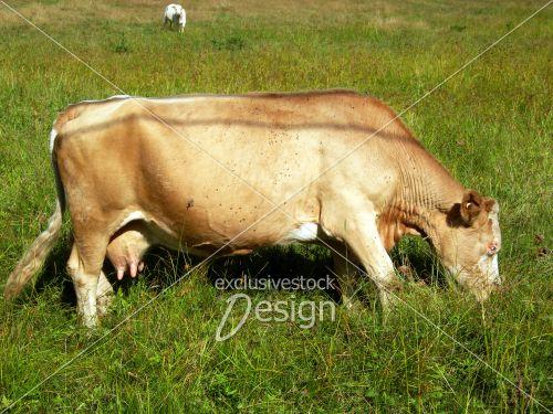Vache à lait beige