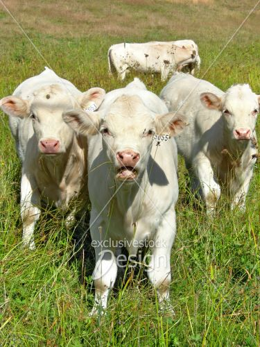 Vaches blanches