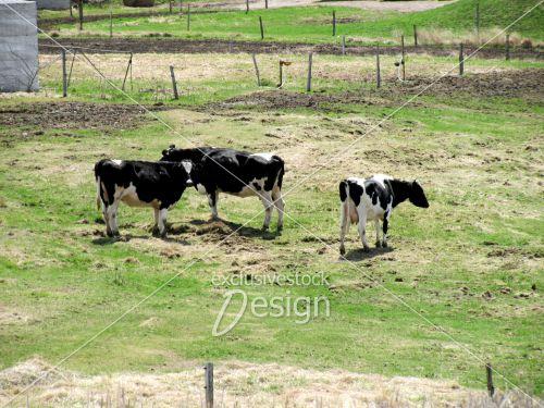 Vaches broutant pâturage terre verdoyante