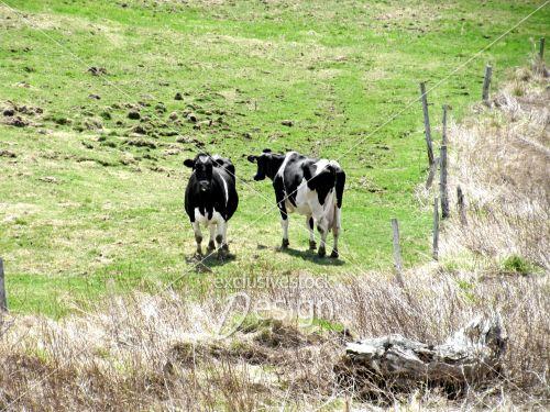 Vaches champ vert entouré clotures