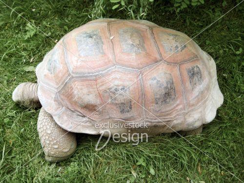 Vieille gigantesque tortue carapace rougeâtre gazon vert